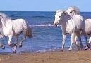Wonders of NatureWhite horses running by the sea &lt3 &lt3