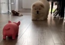 Woof Woof - Chow Chow Puppy Gets Bamboozled By Toy Pig Facebook