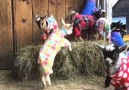 Wow! Look at these baby goats in pajamas Credit storyful