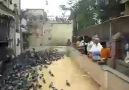 Yabani Güvercinler