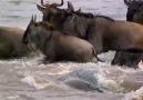 Yağmurların Peşinden Giden Antilopların Ölüme Atlayışı..