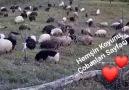 Yar senin olsunAli ÇOLAK... - Hemşin Koyunu Çobanları