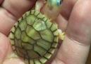 Yavru Kaplumbağa..