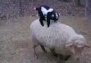 Yavru Keçinin inadına bak:))