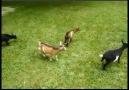 Yavru Keçinin Yaptıklarına Bakın... :)