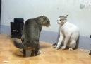 Yemin Ederim Böyle bir kedi kavgası Görmedim )