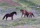 Yeni Doğum Yapan At bakın yavrusunu nasıl Koruyor......