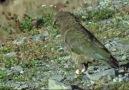 Yeni Zelanda Kea Papağanı Çok Akıllı