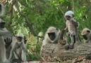 Yere düşen robot maymunu öldü zannedip üzülen ona veda eden maymunlar...