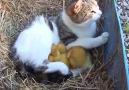 Yetim & Öksüz 3 Ördek Yavrusuna Sahip Çıkan Kedi!