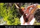 Yılanı korkutan dünyanın en büyük kelebeği- Atlas Kelebeği