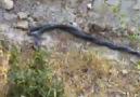 yılanların çiftleşmesi