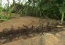 yılan ve karıncaların savaşı