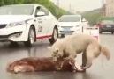 Yoldan geçenler mi hayvan yoksa arkadaşını kurtarmaya çalışan mi