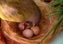 yumurtadan çıkışı
