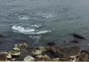 Yunus Balığı Altınordu sahilinde Balık... - Ümit Şener Çambaşı Ordu