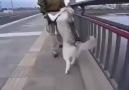 Yürümek İstemeyen Alaska Kurdu