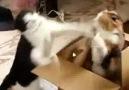 Boks Maçı yapan iki kedi :))