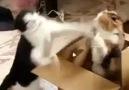Boks Maçı yapan 2 kedi xD