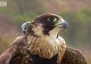 Dünyanın en hızlı kuşuna kamera taktılar [HQ]