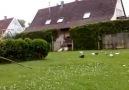 Güvercinler  Almanya