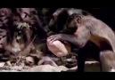 Kapuçin Maymunları