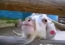 Keçinin Psikolojik Sorunları Var xD