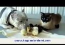 Kedi + Köpek + Civciv = Müthiş Dostluk :)