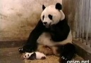 Korkak-Panda