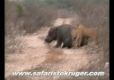 Kruger Lions Kill Hippo (not for sensitive viewers) [HQ]