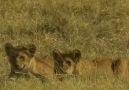 Lion Prides 4
