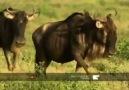 Lone wildebeest calf falls victim to cheetahs