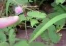 26.03.2010 | Mimoza Çiçeği...