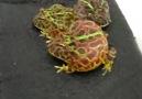 Sinirli kurbağa [HQ]