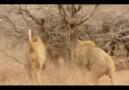 The Confrontation - 3 male Lions versus 300 Cape Buffalo [HQ]