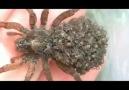 Yavrularını vücudunda taşıyan örümcek...