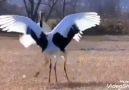 Aleviyim - Turna Semahı ve Turna Kuşu Yemen ellerinden...
