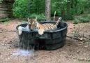 Carolina Tiger Rescue - Madonna Tiger gets her pool