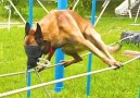 Cesar Millan - This Police Dog In Blindfolds Walks Expertly On Tightrope