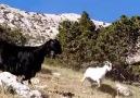 Çobanın keyfi yerinde olursa Tekeden... - Akdeniz Sarıgeçili YÖRÜK Elleri
