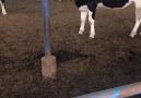 Holstein gebe düvelerimiz yakında... - ASIL Hayvancılık