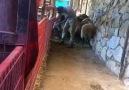 Kuzu Fabrikası - Kuzu Fabrikası (-) .