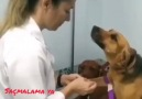 Saçmalama ya - Veterinerine aşık olan köpek